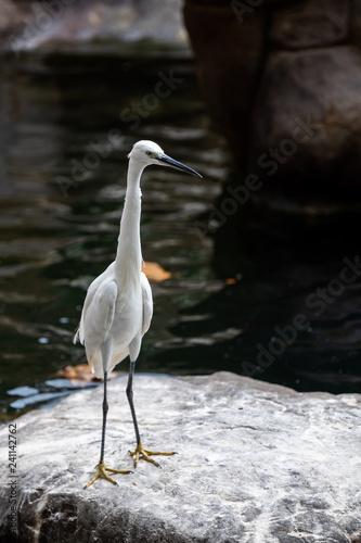 Photo Oiseau Aigrette Garzette