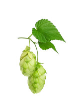 Close Up Fresh Green Hops Isolated On White