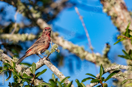 Fotografía  An inquisitive reddish House Finch is captured perched in a live oak tree agains