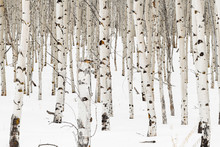 Small Grove Of Aspen Trees In Winter With Snow On The Ground