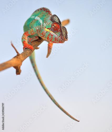 panther chameleon,furcifer pardalis ambilobe