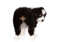 Funny Aussie Puppy With No Tail Looking Back