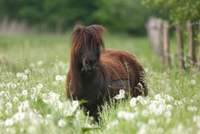 Pony In Hoher Wiese