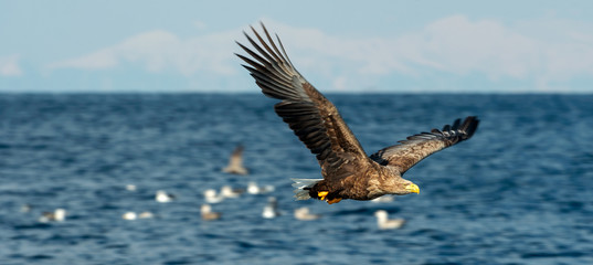 Adult White-tailed eagle in motion, fishing. Blue Ocean Background. Scientific name: Haliaeetus albicilla, also known as the ern, erne, gray eagle, Eurasian sea eagle and white-tailed sea-eagle.