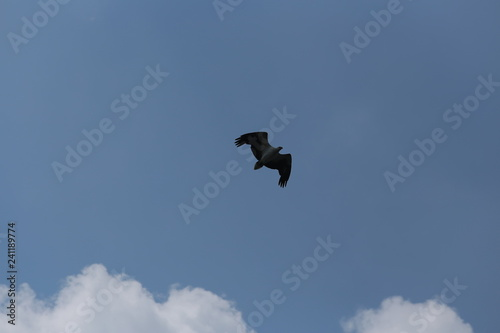 Foto op Canvas Luchtsport Eagle bird wing launched on sky blue background