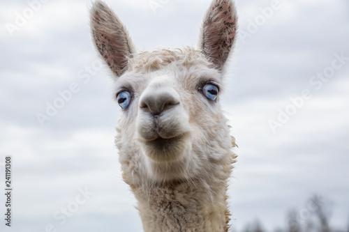 Fotografie, Obraz  Albino Alpaca in a farm during a cloudy day.