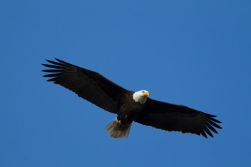 Majestic eagle soaring up in the sky.