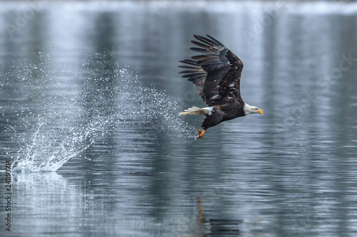 Bald eagle makes splash catching a fish.