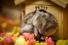 Cute Adorable Hamsters Sleeping In A Small House.