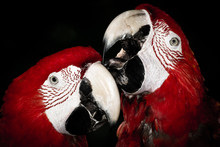 A Portrait Of A Pair Of Red Parrots. They  Look Like They Are In Love And Have Strong Bond. One Of Them Is Kissing The Other. They Are Cute. Using A Flash, I Exposure For The Parrot To Create Dark Bg.