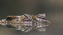Crocodile Hiding Silently In The Water With Reflection