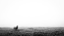 Black And White Minimalist Image Of A Lonely Lost Sheep In Fog. Suitable To Add Text.