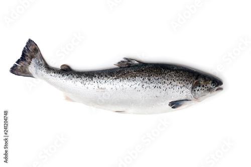 Atlantic salmon fish isolated on a white studio background.