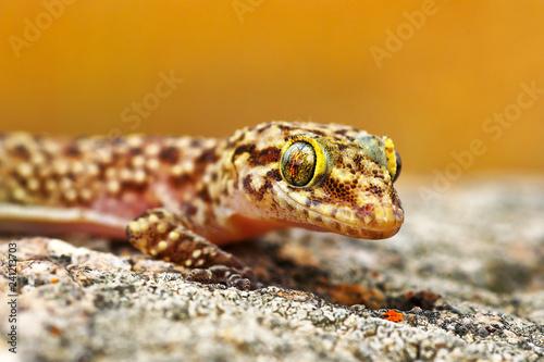 Hemidactylus turcicus or mediterranean house gecko