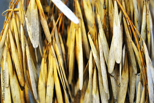 Fotografie, Obraz  Ash tree (Fraxinus) dry yellow seeds, natural organic background, close up macro
