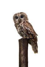 Tawny Owl Or Brown Owl ( Strix...