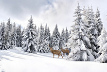 Winter Landscape With Sika Deers ( Cervus Nippon, Spotted Deer ) Walking In The Snow In Fir Forest And Glade