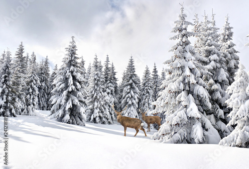 Foto auf Gartenposter Weiß Winter landscape with sika deers ( Cervus nippon, spotted deer ) walking in the snow in fir forest and glade