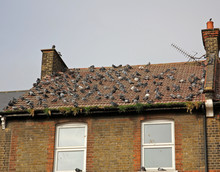 Lots Of Pigeons On Roof Of House