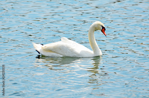 Fotografie, Obraz  Closeup of the side of an elegant white mute swan swimming on aquamarine rippled water with bright red-orange bill or beak bordered with black, long cream colored neck and detailed feathers