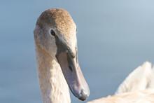 Juvenile Brown Swan Portrait Close Up, Mute Swan (Cygnus Olor)