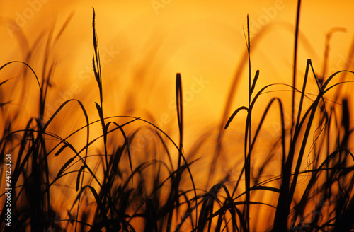Fotografie, Obraz  Sedges against sunset sky
