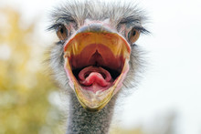 Angry Ostrich Close Up Portrait, Close Up Ostrich Head (Struthio Camelus)