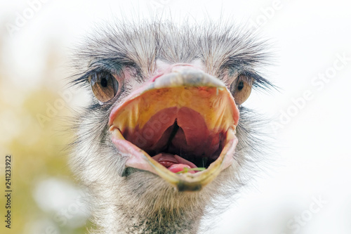 Foto op Aluminium Struisvogel Angry Ostrich Close up portrait, Close up ostrich head (Struthio camelus)