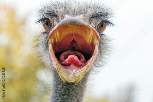 Fotobehang Struisvogel Angry Ostrich Close up portrait, Close up ostrich head (Struthio camelus)