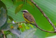 Hermoso Pájaro De Estómago Amarillo Posando Sobre Una Rama