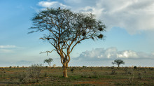 Baum In Der Afrikanischen Savanne