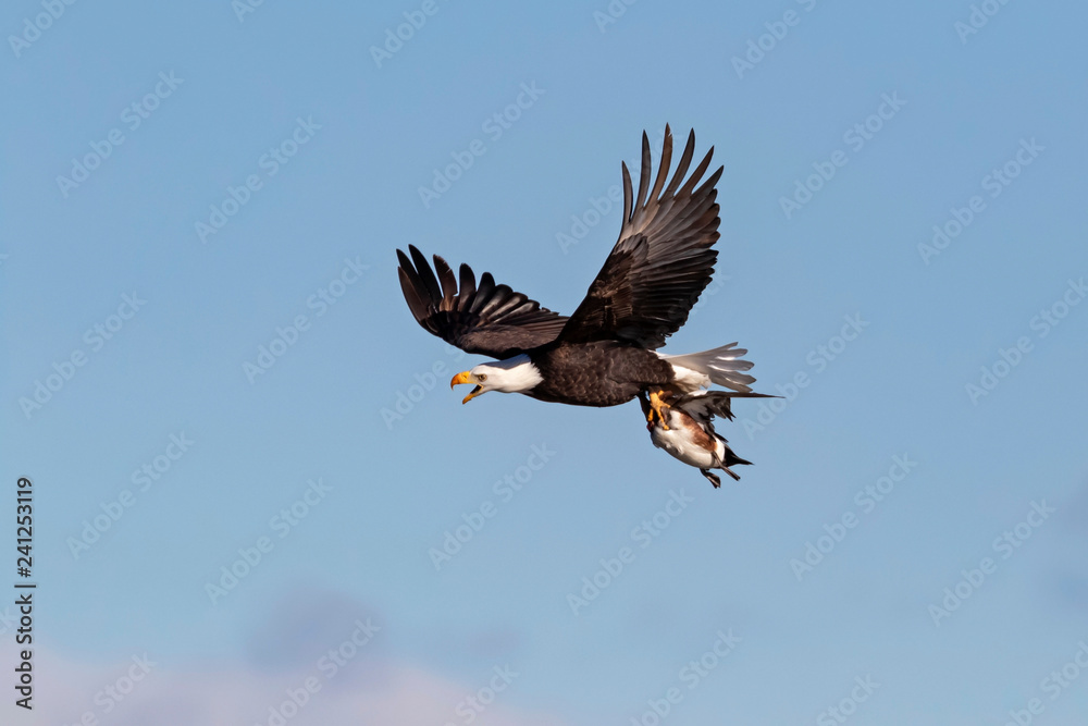Bald eagle hunting with duck prey