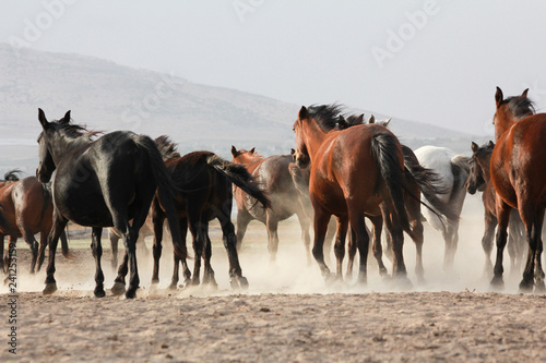 Poster de jardin Vache a plain with beautiful horses in sunny summer day in Turkey. Herd of thoroughbred horses. Horse herd run fast in desert dust against dramatic sunset sky. wild horses