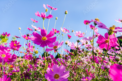 Foto op Aluminium Lente purple cosmos flowers in the garden