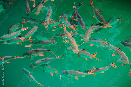 Foto op Aluminium Draken Fish in natural attractions in Ratchaprapha Dam at Khao Sok National Park, Surat Thani Province, Thailand.
