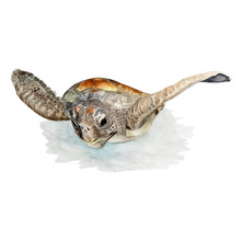 Sea Turtle Watercolor Painting ,Print Wall Art ,Hand Painted. Turtle Illustration Isolated On White Background.
