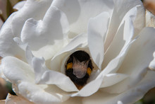 A Bumblebee In A White Rose Lo...