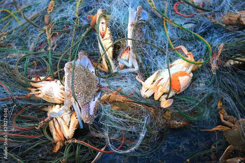Fishermen catch blue crabs