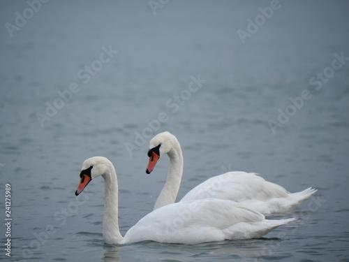 Fotografie, Obraz  two swans swimming in the azure sea