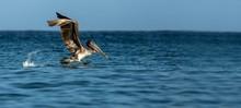 Fishing Brown Pelican, Pelecan...