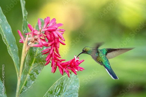 Photo White-tailed sabrewing hovering next to pink flower, bird in flight, caribean tr