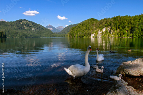 Foto op Canvas Zwaan The picturesque image of the famous Alpsee lake in the Bavarian Alps. Swans floating on a lake in a sunny summer morning. Fussen, Bavaria, Germany.