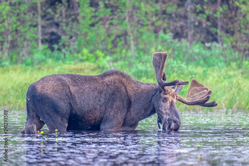 Obraz na plátně A large adult bull moose, walking through the shallow shore of the lake, having a drink of water while eating lily pads, on a sunny spring morning
