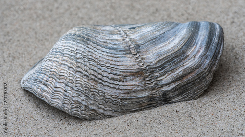 Raue Bohrmuschel im Sand