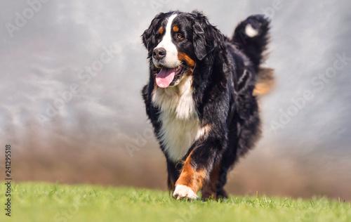 Photo bernese mountain dog on grass