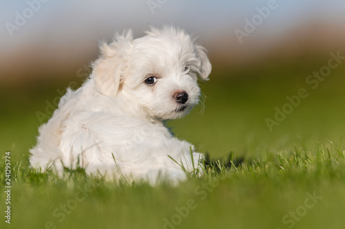 Puppy in the grass Canvas-taulu