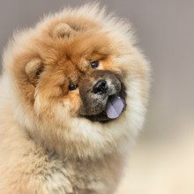 Portrait Of A Dog, Lion Dog, C...