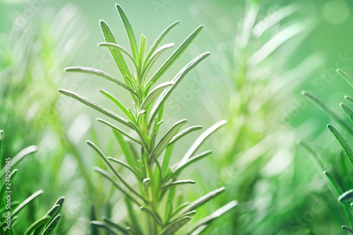 Rosemary plant in the garden. Culinary aromatic herb. Fototapeta