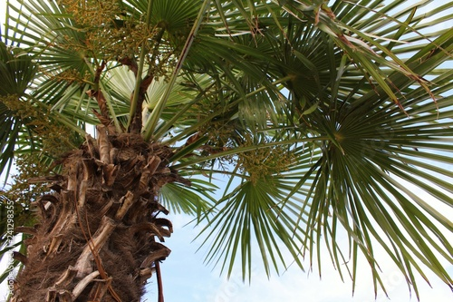 Fototapeta Włoska palma obraz