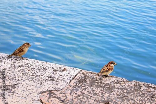 Fototapeta Włoskie wróbelki nad Jeziorem Garda obraz